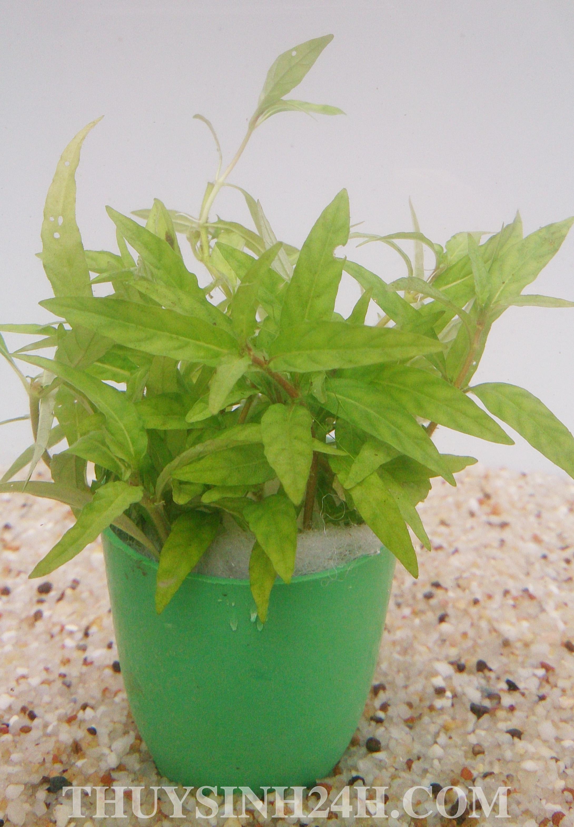 RAU RĂM - Hygrophila sp