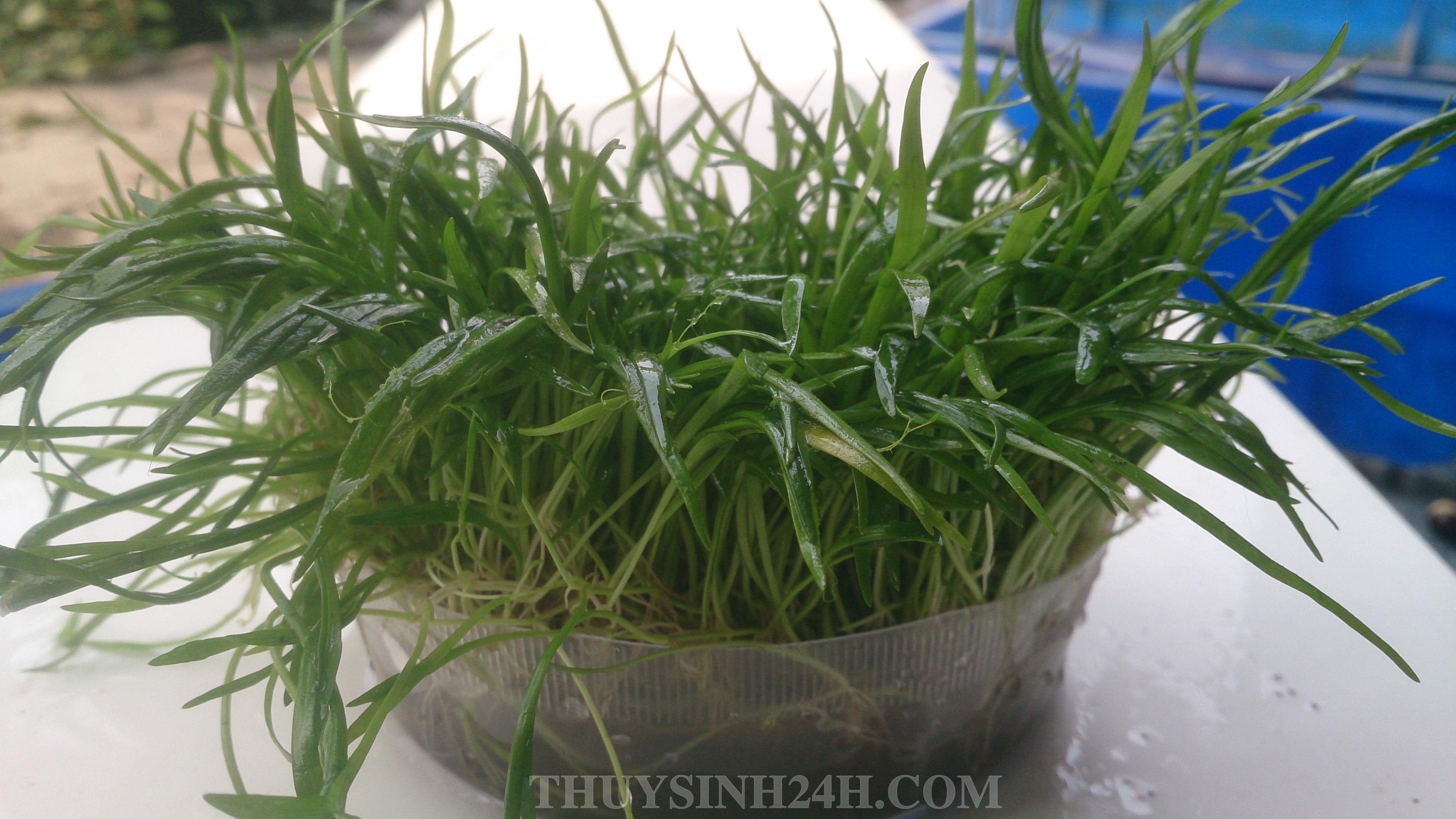 CỎ LƯỠI RẮN - HUỆ NƯỚC -Lilaeopsis brasiliensis
