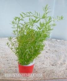 ROTOLA Xanh - VẢY ỐC XANH -ME XANH - Rotala sp.Green