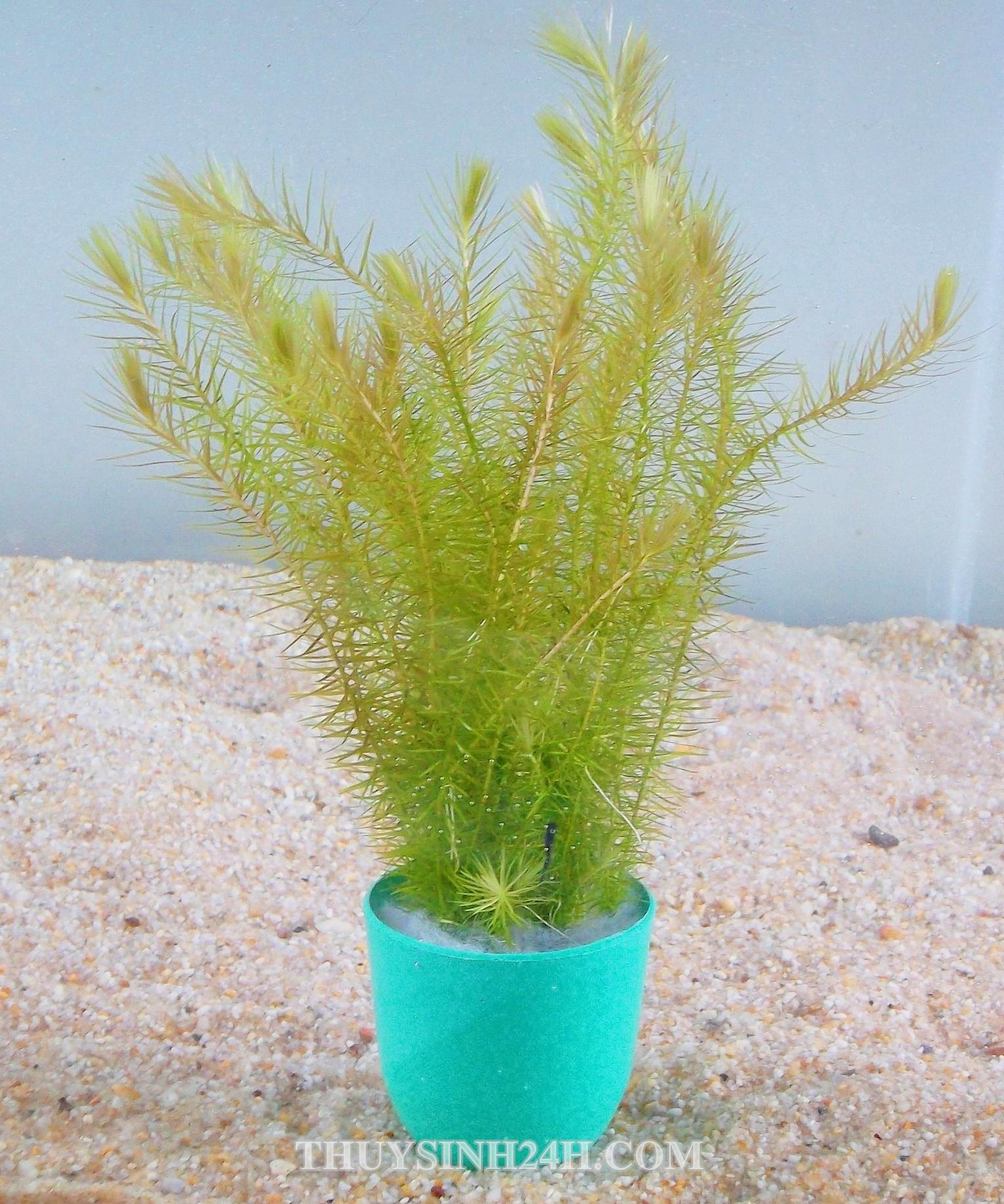 CỎ ĐẦU BẠC - BẠC ĐẦU BÔNG - Mayaca fluviatilis