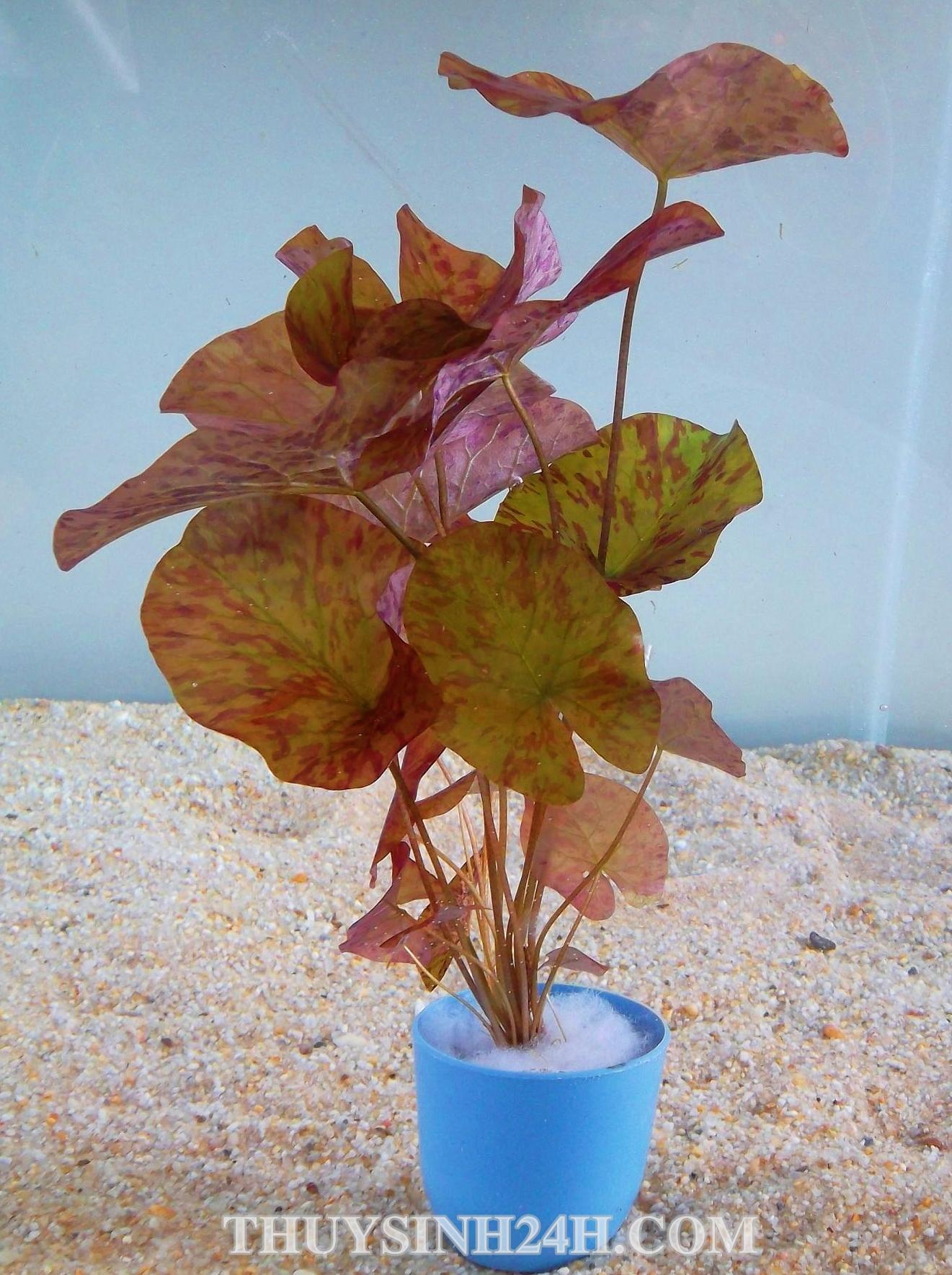 SÚNG XÁC PHÁO - SÚNG ĐỎ - Tiger lotus (Nymphaea lotus Zenkeri)