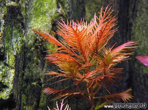 LÔNG CHIM ĐỎ -Mermaid weed - Proserpinaca palustris(cuba)