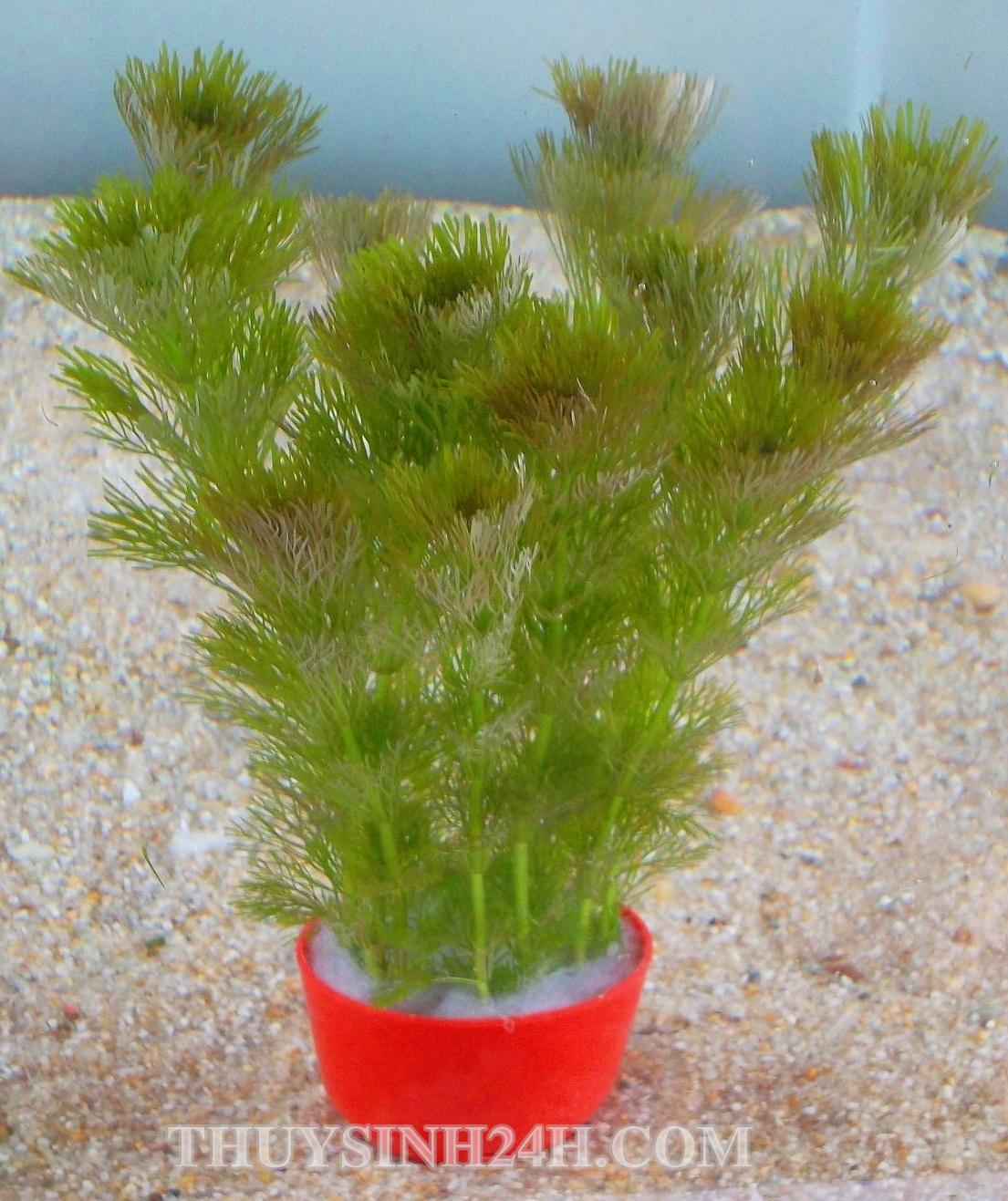TIỂU BẢO THÁP - Limnophila sessiliflora