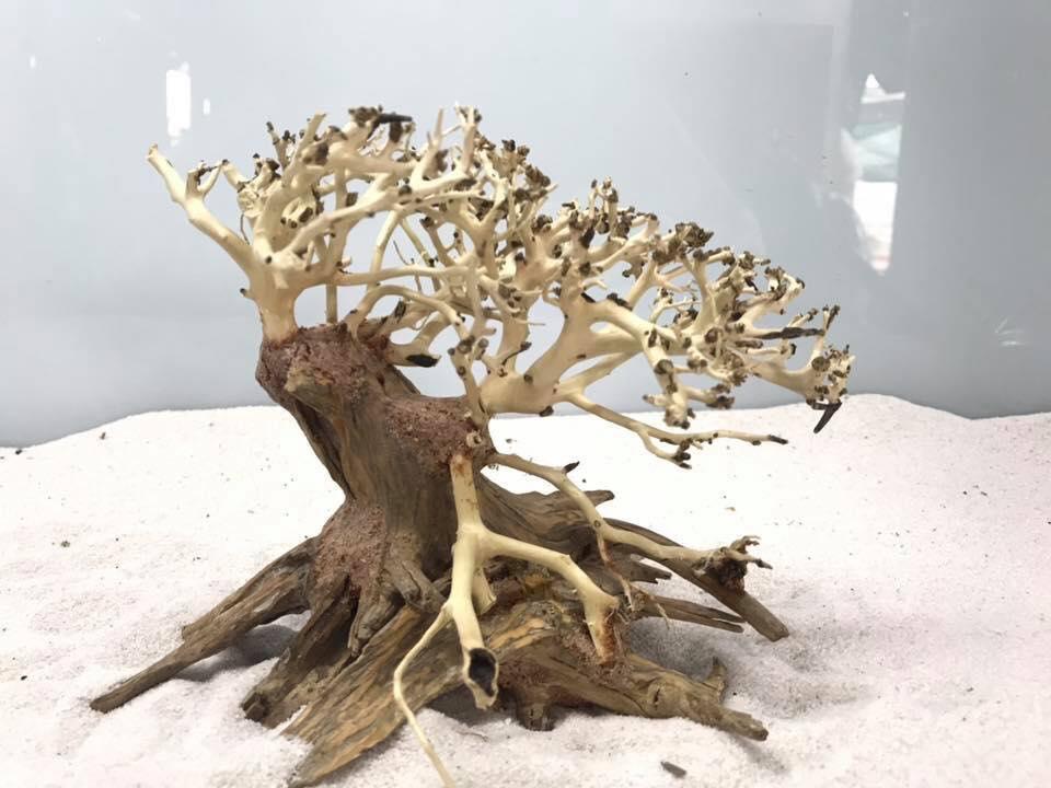lũa bonsai mini